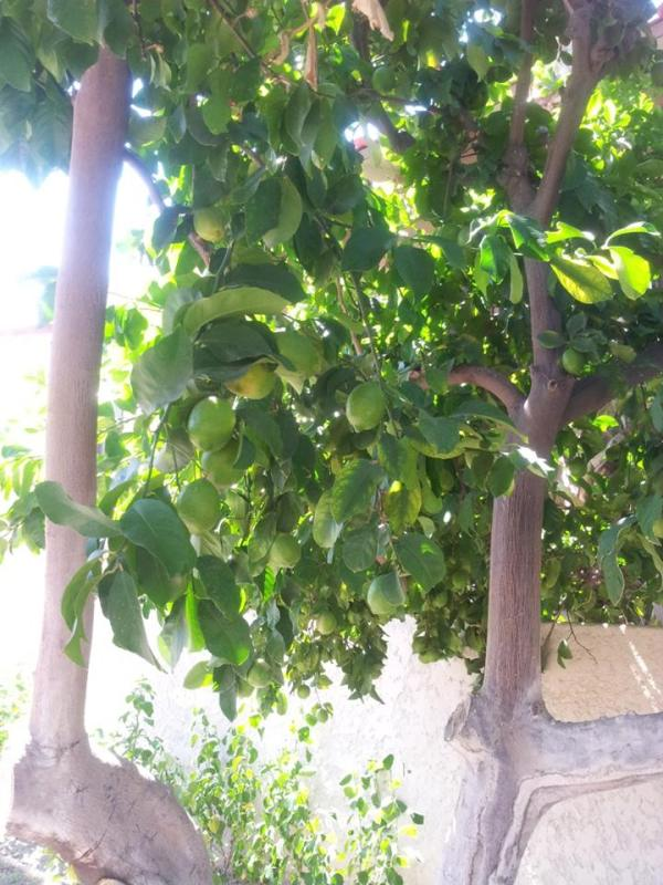 Limes ripe for the pickin' in Palm Springs (the first time I'd ever picked any citrus in my life)